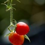 tomato ©l bernay-roman